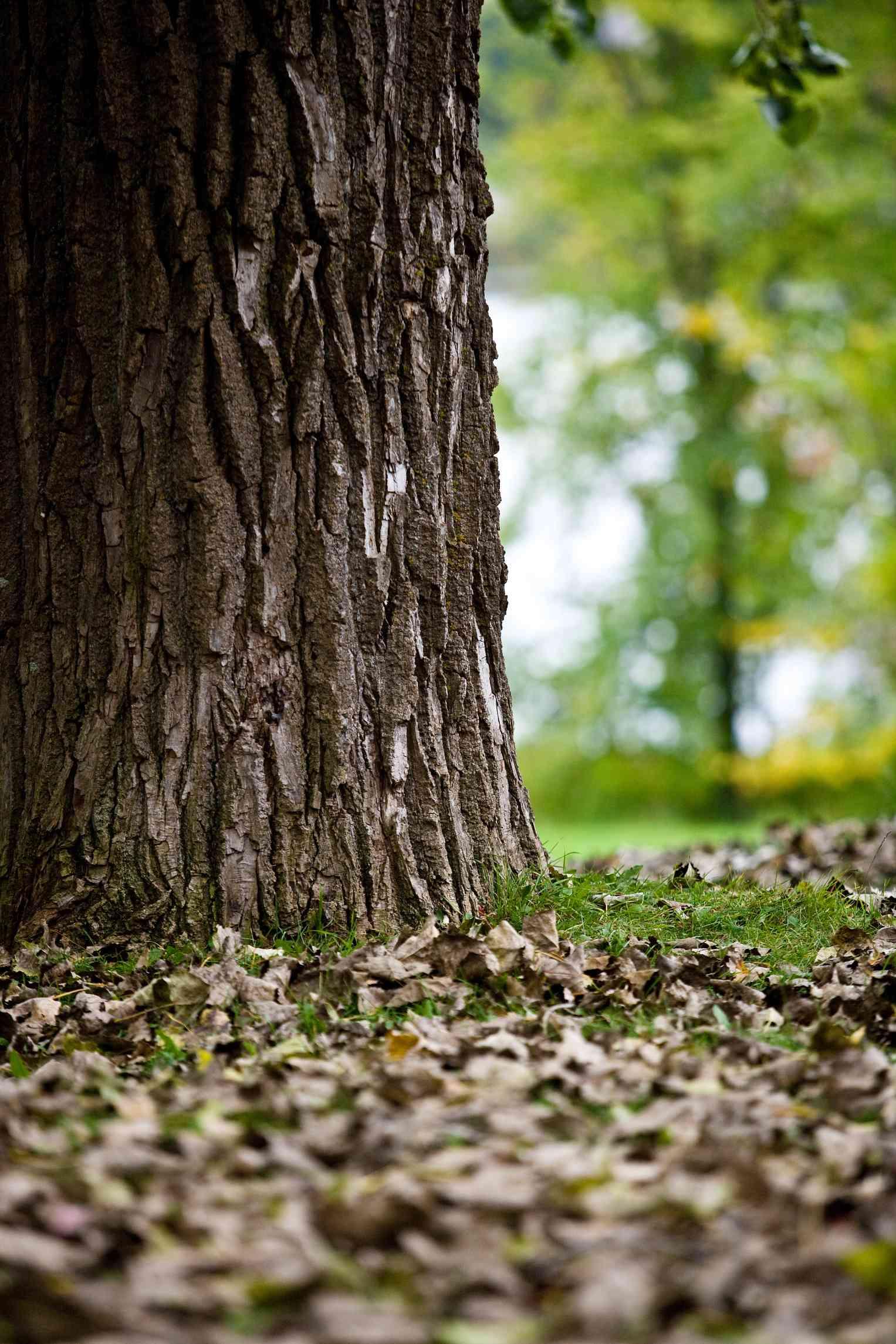 Oak Tree Base