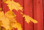 Leaf Against Red Barn