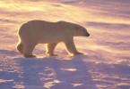 Polar Bear Walking At Sunset