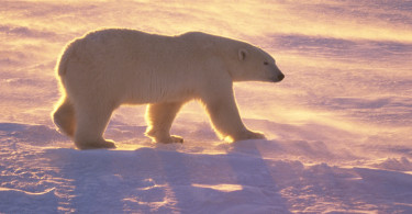 Polar Bear Walking At Sunset