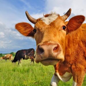 Cattle In Field Closeup