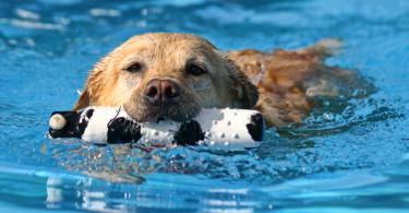 Dog In Pool Fetching Something
