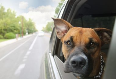 Dog looking out car window