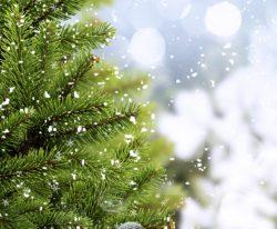 christmas-trees-absorb-methane-greenhouse-gas-2